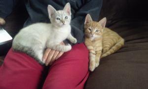 L+M Lap Kittens